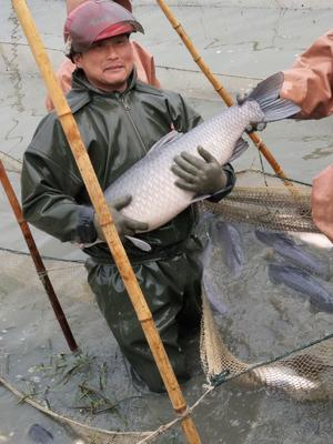 湖北省荆州市荆州区北美青鱼 人工养殖 10-18公斤