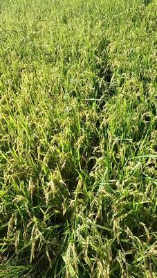 吉林省白城市洮北区黑水稻 晚稻
