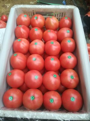 河北省衡水市饶阳县硬粉番茄 不打冷 硬粉 通货