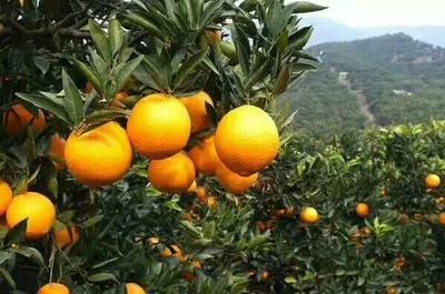 这是一张关于赣南脐橙 6590.0mm 4-8两的产品图片