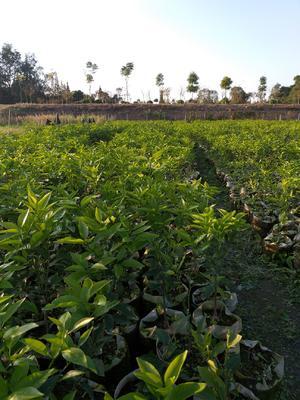 四川省眉山市东坡区无核沃柑苗 杯苗袋苗 0.35~0.5米