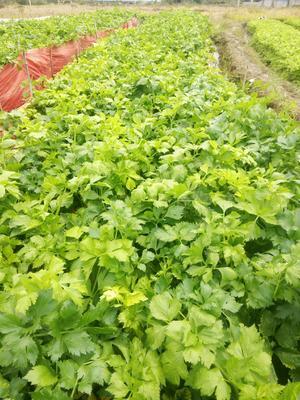 广西壮族自治区贺州市富川瑶族自治县香芹 60cm以上 露天种植 1.0~1.5斤
