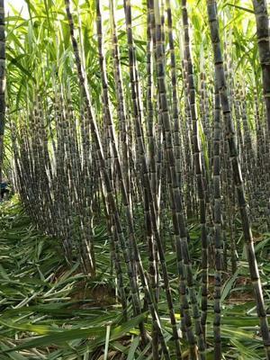 云南省西双版纳傣族自治州景洪市甜王西瓜 有籽 1茬 7成熟 5斤打底