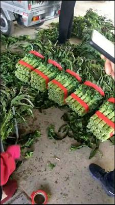 山东省临沂市郯城县红叶香莴苣 50-60cm 1.5~2.0斤