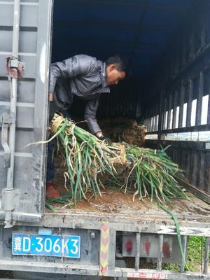 贵州省安顺市西秀区白玉山药 2cm左右 30~40cm 毛葱