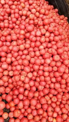 陕西省商洛市洛南县硬粉番茄 不打冷 硬粉 弧二以上