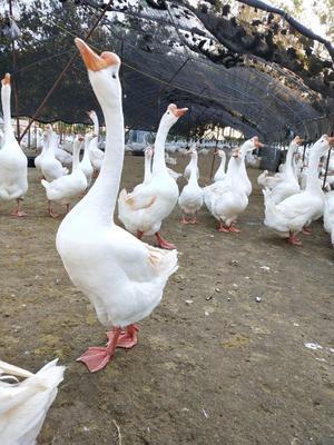这是一张关于皖杂鹅苗的产品图片
