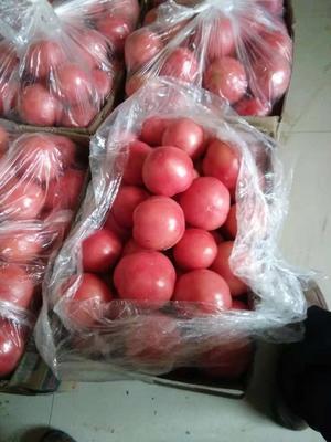 河南省濮阳市清丰县硬粉番茄 不打冷 硬粉 通货