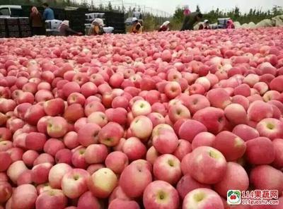 这是一张关于红富士苹果 纸+膜袋 条红 65mm以上的产品图片