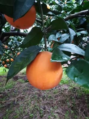 纽荷尔脐橙  4两以下 60 - 65mm 橙招代理一件代发