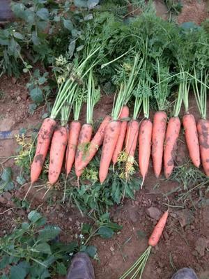 山东省菏泽市牡丹区三红七寸参胡萝卜 15cm以上 2两以上 3~4cm