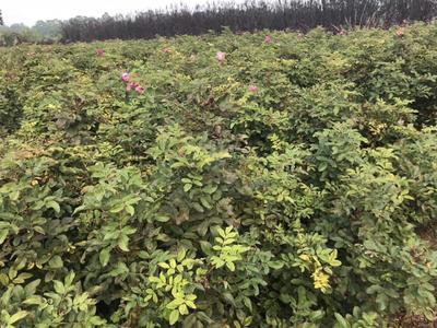 陕西省西安市周至县四季玫瑰