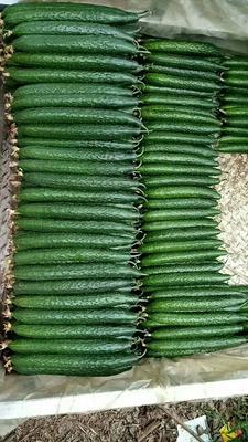 山东省日照市岚山区密刺黄瓜 30cm以上 干花带刺