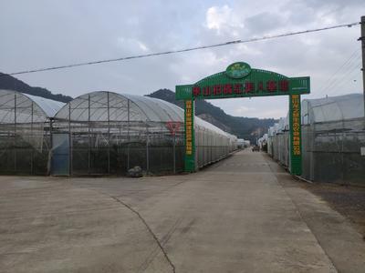 浙江省宁波市象山县红美人柑桔 6 - 6.5cm 4两以上