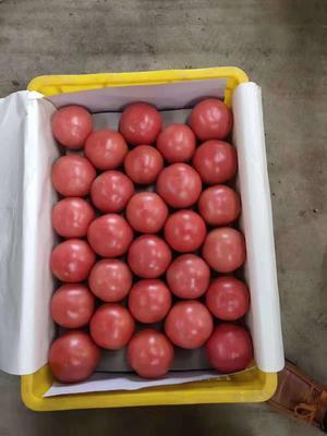 山东省泰安市岱岳区硬粉番茄 打冷 硬粉 弧二以上