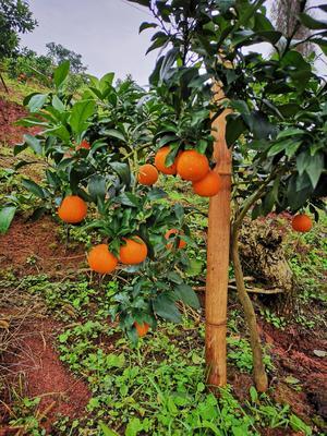这是一张关于爱媛38号柑桔 4.5 - 5cm 2 - 3两的产品图片