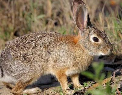 这是一张关于野兔 1-3斤的产品图片