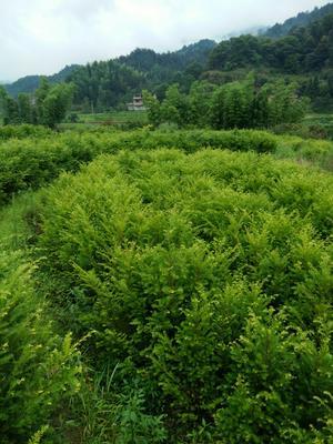 江西省宜春市铜鼓县南方红豆杉 1.5~2米