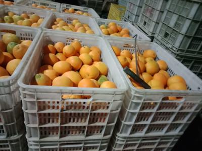 这是一张关于赣南脐橙 60 - 65mm 4两以下的产品图片