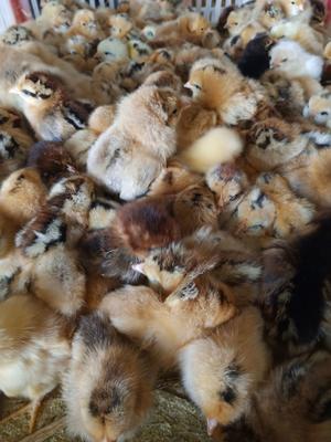 这是一张关于土鸡 统货 2斤以下的产品图片