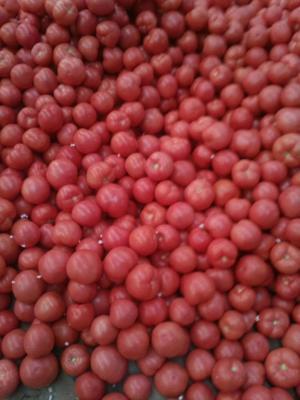 山东省泰安市岱岳区硬粉番茄 不打冷 硬粉 弧二以上
