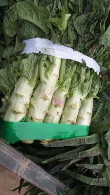 湖北省宜昌市当阳市红叶香莴苣 50-60cm 1.0~1.5斤