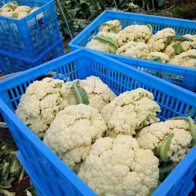 江苏省泰州市姜堰区白面青梗松花菜 适中 1~2斤 乳白色