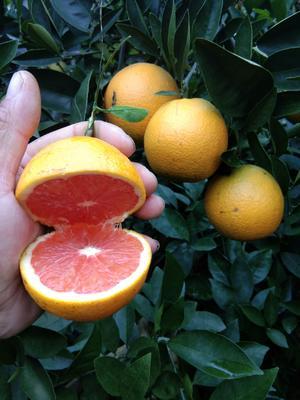 这是一张关于血橙 55 - 60mm 4两以下 的产品图片