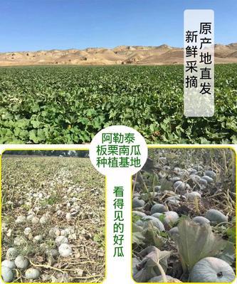 新疆维吾尔自治区阿勒泰地区阿勒泰市贵族南瓜 2~4斤 长条形