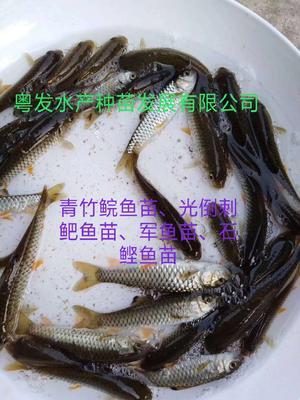 广东省广州市花都区光倒刺鲃鱼苗
