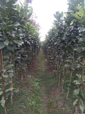 这是一张关于桔柚苗 移栽苗 2米以上的产品图片