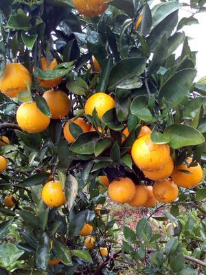 这是一张关于纽荷尔脐橙 75 - 80mm 4-8两 的产品图片