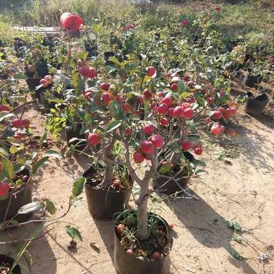 这是一张关于红粉佳人合果芋盆栽的产品图片