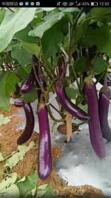 海南省东方市东方市紫长茄 4两以上