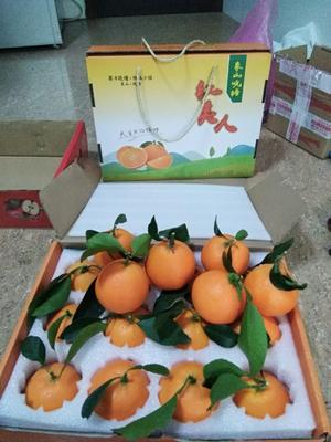 浙江省宁波市象山县红美人柑桔 5 - 5.5cm 4两以上