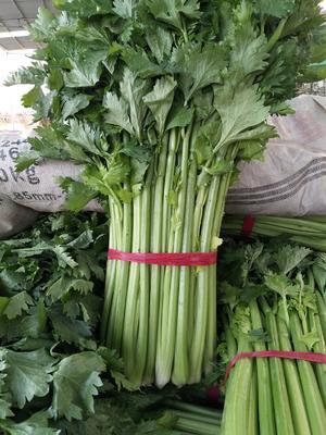 山东省滨州市阳信县法国皇后芹菜 60cm以上 大棚种植 0.5斤以下