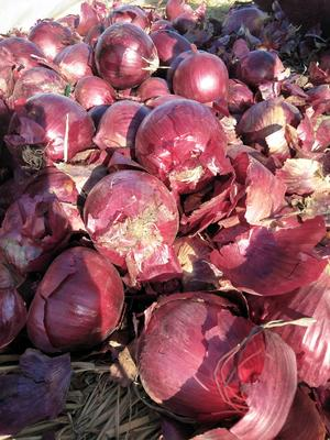 甘肃省武威市民勤县紫皮洋葱 8cm以上 紫皮 4两以上