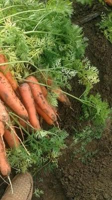 河南省南阳市宛城区三红胡萝卜 15cm以上 2两以上 3~4cm
