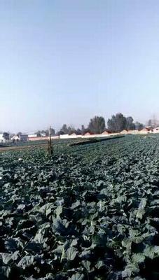 河南省南阳市宛城区耐寒优秀西兰花 1.2~1.5斤 10~15cm