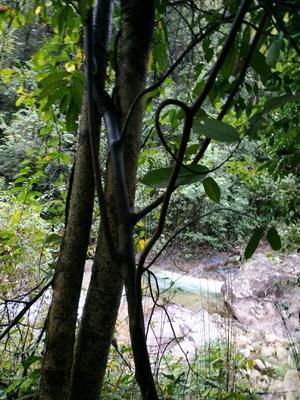 江西省赣州市上犹县麝香藤 0.5米以下 2~3公分