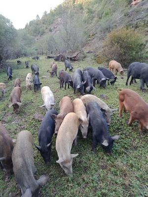 陕西省延安市志丹县生态土黑毛猪 80斤以上