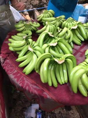 云南省红河哈尼族彝族自治州河口瑶族自治县河口香蕉 七成熟
