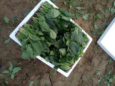 这是一张关于小叶菠菜 20~25cm的产品图片