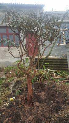 贵州省毕节市纳雍县映山红 0.5~1米