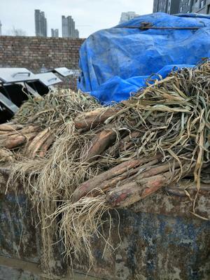 陕西省榆林市榆阳区红葱种