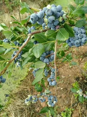 矮丛蓝莓苗