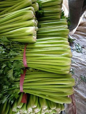 山东省聊城市东昌府区西芹 55~60cm 大棚种植 0.5~1.0斤