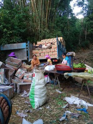 云南省红河哈尼族彝族自治州元阳县金平香蕉 七成熟