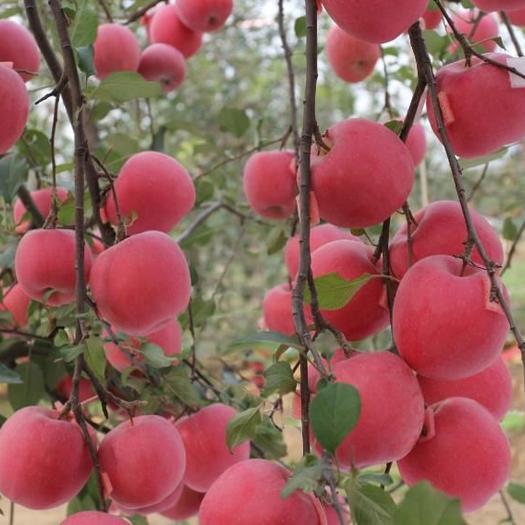 红蜜脆苹果苗 育苗三十年  只卖好树苗良心苗