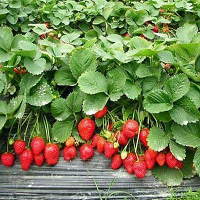 红颜草莓苗 地栽苗 10~20公分